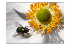 Fly-on-Anenome